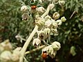 Convergent Ladybug, Hippodamia convergens on Sphaeralcea ambigua – Desert Globemallow - panoramio.jpg