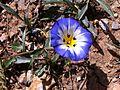 Convolvulus tricolor ssp quadricolor 1 Zaghouan Tunisia.JPG