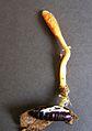 CordycepsMilitaris.jpg