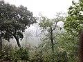 Cork oaks in the mist.jpg