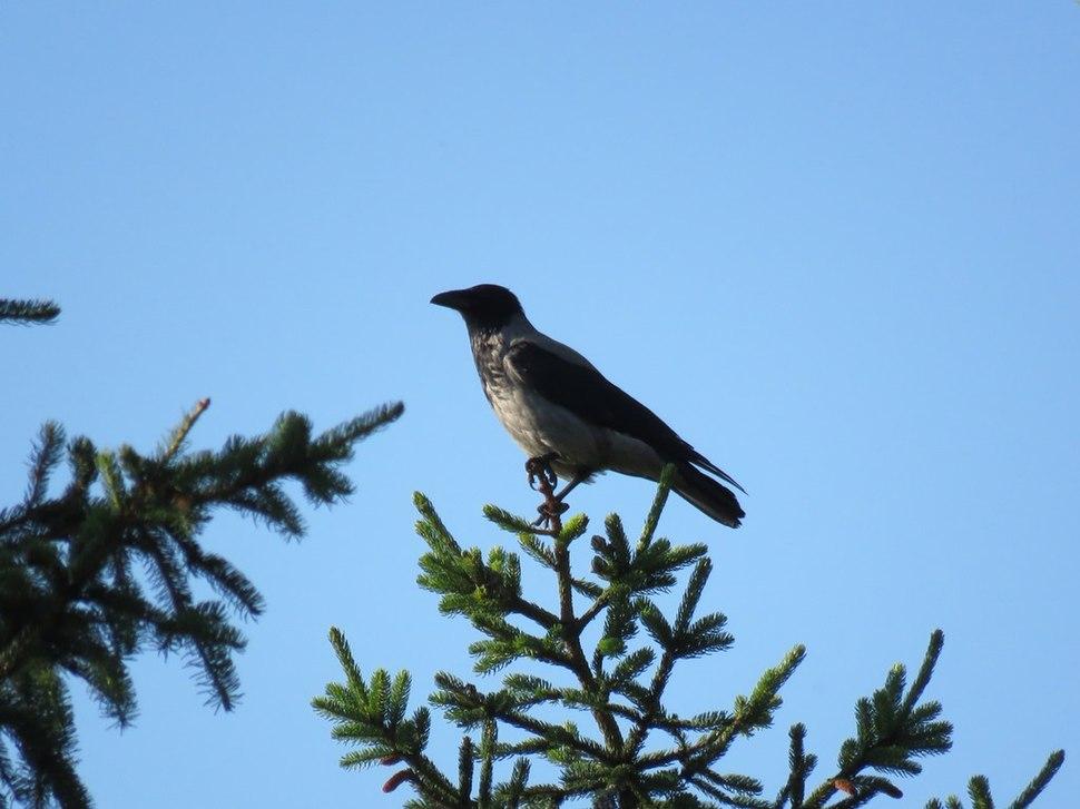 Corvus cornix8