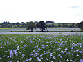 Cotswolds linseed field 2.jpg