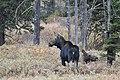 Cow Moose (50436706653).jpg