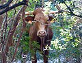 Cow confrontation! (32901909575).jpg