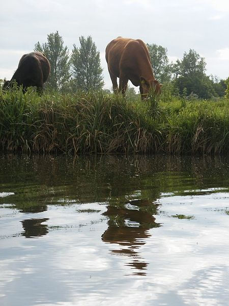 File:Cowflection (2502510905).jpg
