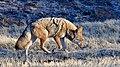 Coyote (31011001575).jpg