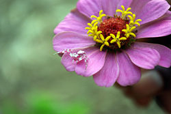 Crab Spider on a pink flower - Volta Region, Ghana.jpg