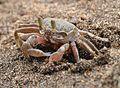Crab in sand.jpg