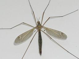 http://upload.wikimedia.org/wikipedia/commons/thumb/d/d8/Crane_fly_halteres.jpg/256px-Crane_fly_halteres.jpg