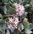 Crassula arborescens - flowers - KNBG.jpg