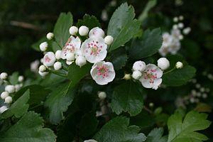 Crataegus laevigata - Image: Crataegus oxyacantha flowers