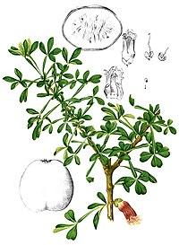 Crescentia alata Blanco2.327-cropped