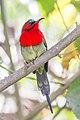 Crimson sunbird (Aethopyga siparaja) in Nepal.jpg