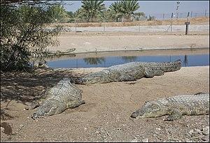 Crocodile farm - Nile crocodile farm in Israel