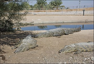 Crocodile farm - Nile crocodile farm in Israel