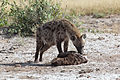 Crocuta crocuta -Amboseli National Park, Kenya-8.jpg