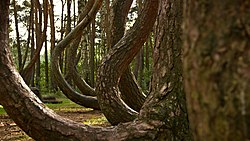 Crooked Forest Wikipedia