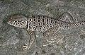 Crotaphytus antiquus male.jpg