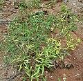 Croton bonplandianus in Hyderabad, AP W IMG 9293.jpg