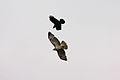 Crow attacking Buzzard - Woburn Safari Park (4552169984).jpg