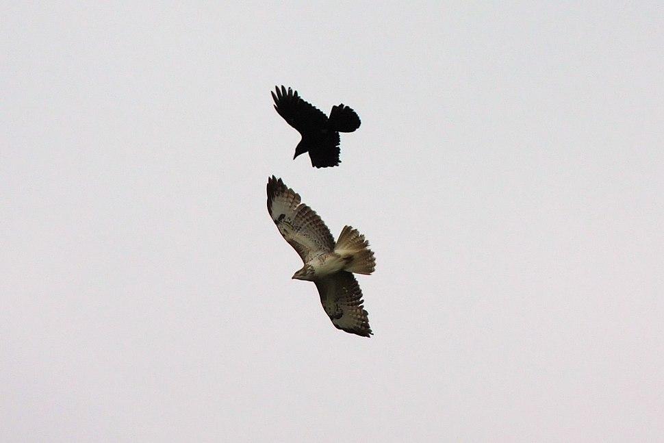 Crow attacking Buzzard - Woburn Safari Park (4552169984)