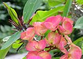 Crown of Thorns Euphorbia x lomi (Unidentified Cultivar) Flowers Crop 3264px.JPG
