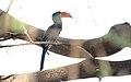 Crowned Hornbill (Lophoceros alboterminatus) (32688892978).jpg