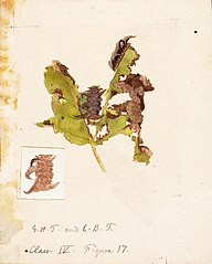 Crumpled Leaf Caterpillar, study for book Concealing Coloration in the Animal Kingdom