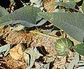 Cucurbita foetidissima kz2.jpg