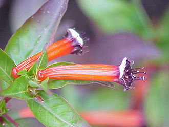 """Cuphea - Cuphea ignea flowers resemble a tiny burning cigar in color, hence the common name """"cigar plant"""""""