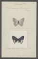 Cupido - Print - Iconographia Zoologica - Special Collections University of Amsterdam - UBAINV0274 050 04 0002.tif