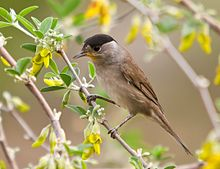 A male blackcap perched in a tree