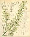 Curtis's Botanical Magazine, Plate 4279 (Volume 73, 1847).jpg