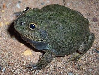 Cyclorana - Water-holding frog (Cyclorana platycephala)
