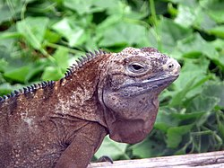 Cyclura collei female.jpg