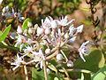 Cynanchum acutum Enfoque 2011-7-15 LagunadelaMata.jpg