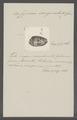 Cypraea sanguinolenta - - Print - Iconographia Zoologica - Special Collections University of Amsterdam - UBAINV0274 088 02 0060.tif