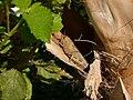 Cyprus-grasshopper hg.jpg