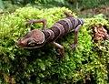 Cyrtodactylus-pulchellus.jpg