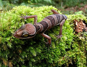 Description de l'image Cyrtodactylus-pulchellus.jpg.