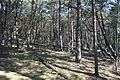 Czołpino - Forest 02.jpg