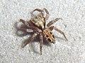 DOM09-9423 Agobardus gramineus male.jpg