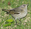 DRbirds Cape May Warbler 2.JPG