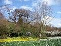 Daffodils, Greenwich Park, London - geograph.org.uk - 2336424.jpg