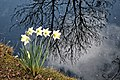 Daffodils by a Pond (51108613164).jpg