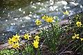 Daffodils near the river.jpg