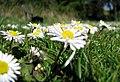 Daisy near Scrabo (3) - geograph.org.uk - 780514.jpg