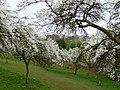 Damson Orchard nr. Bowling Green Farm - geograph.org.uk - 1244608.jpg