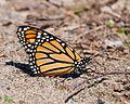 Danaus Plexippus Monarch Butterfly.jpg
