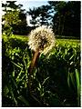 Dandelion(1) - Flickr - pinemikey.jpg